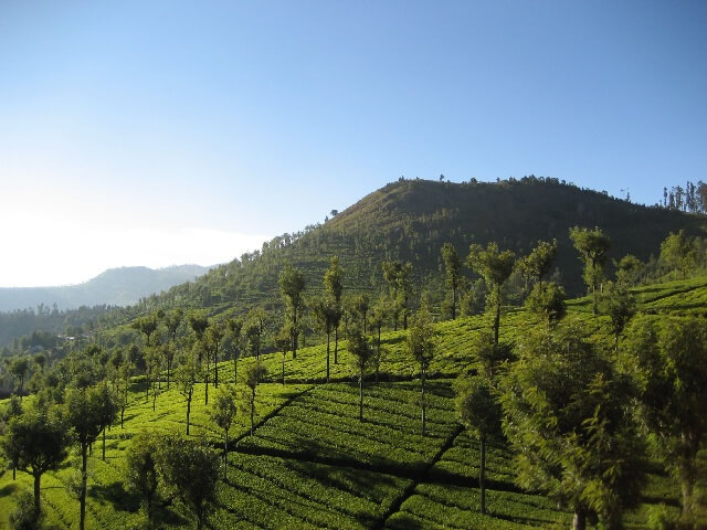 Tea Plantation on Nilgiri Mountain